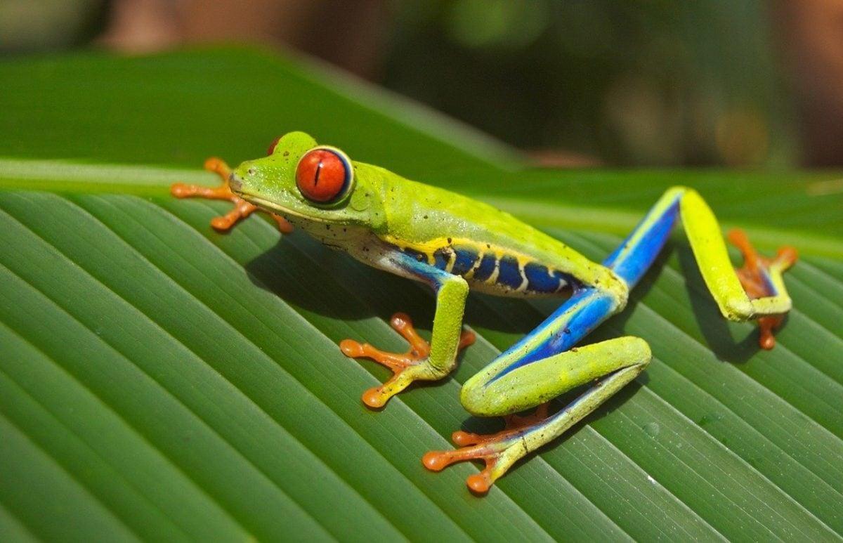 grenouille arboricole