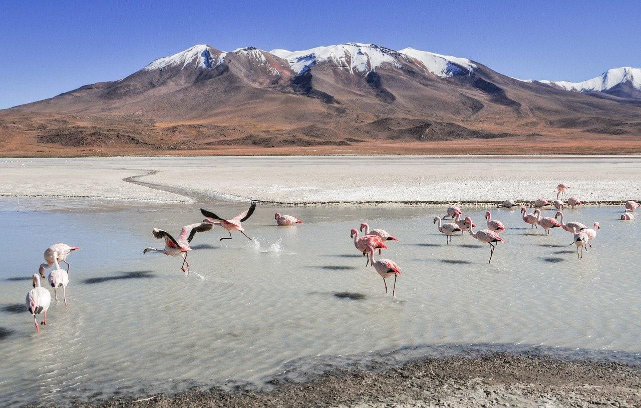 flamands rose dans une lagune en Bolivie