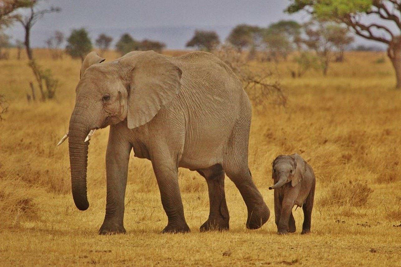 Elephants en Tanzanie