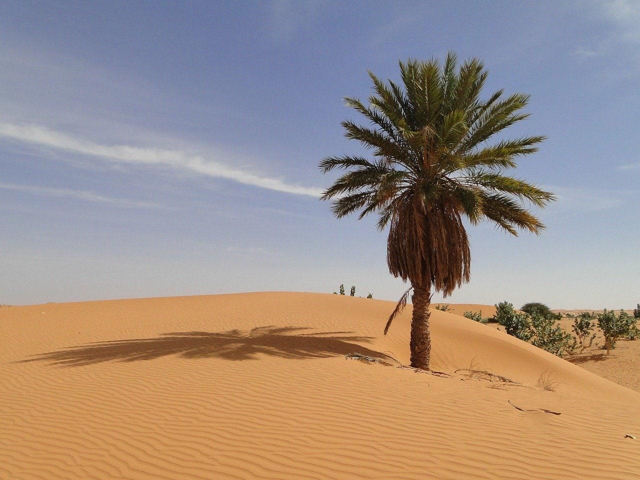 palmier dans le désert en Mauritanie