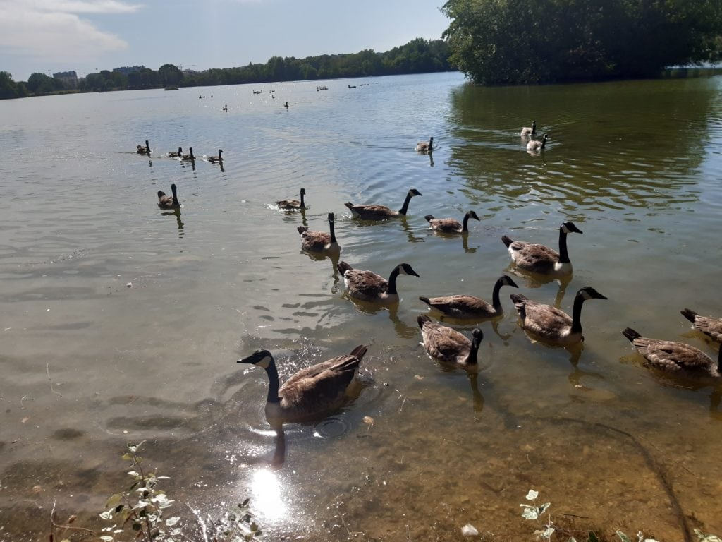 geese geese in cherry port park