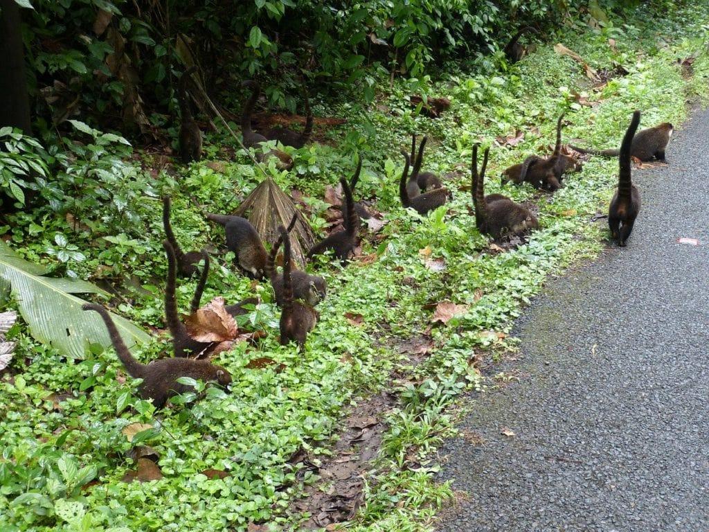 Coatis by the roadside in Costa Rica
